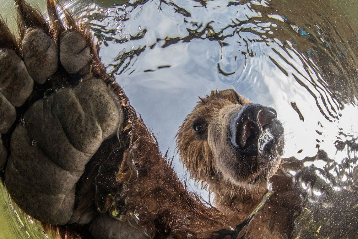 Ganador categoríaTerrestrial Wildlife:Brown bear. Underwater view. |Mike Korostelev