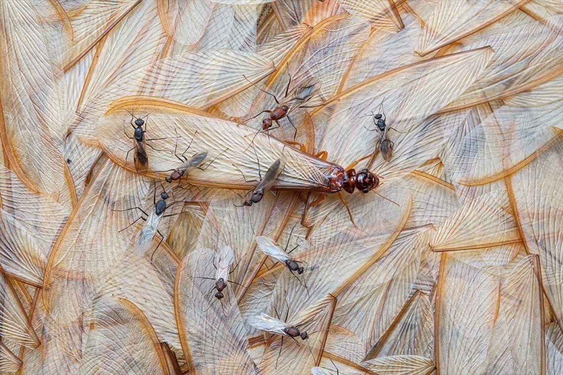 Ganador categoríaWinged Life:Losing Wings |Piotr Naskrecki