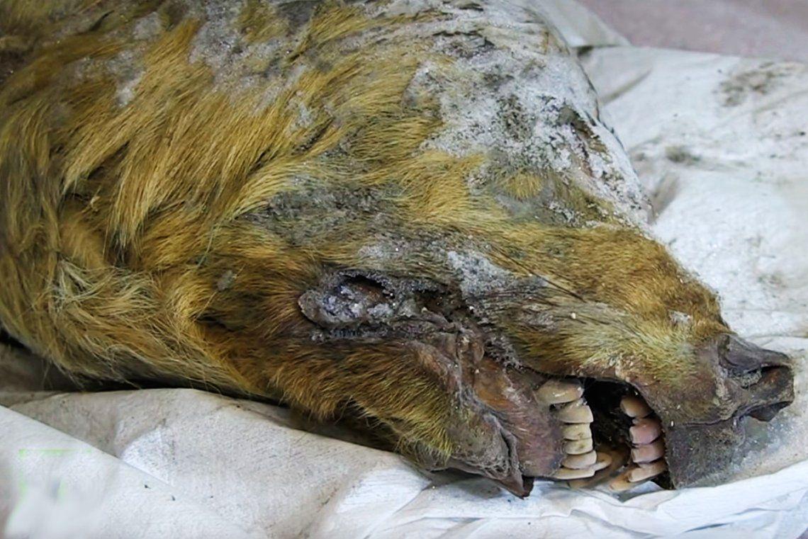 Hallan una gigantesca cabeza de lobo de 32.000 años de antigüedad