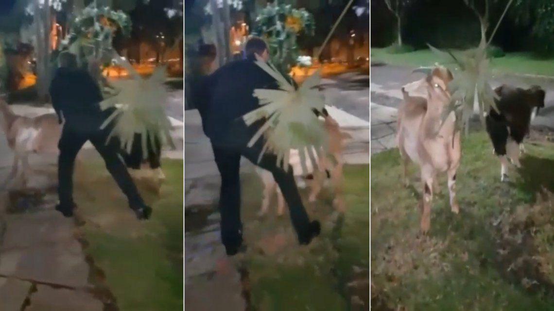Conzi viola su prisión domiciliaria y sale a pasear cabras por la vereda