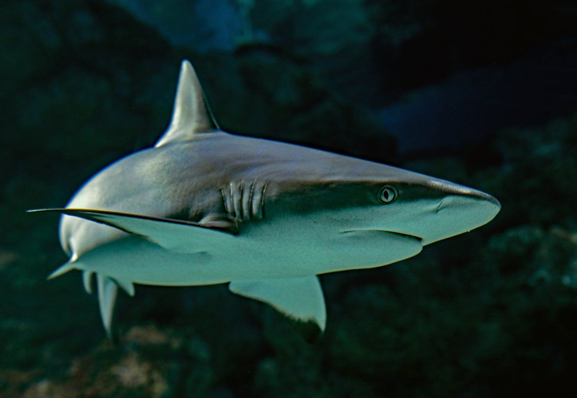 Masacre ecológica: 100 millones de tiburones son asesinados por año