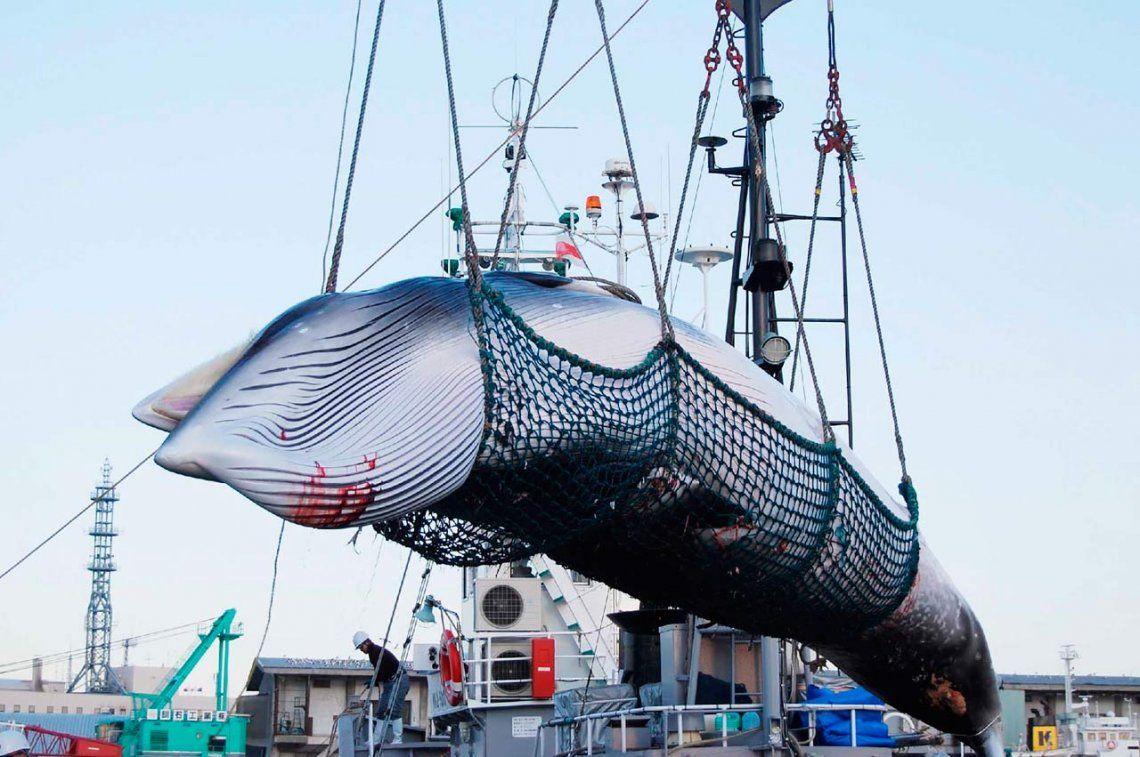 Después de 30 años, Japón vuelve a cazar ballenas