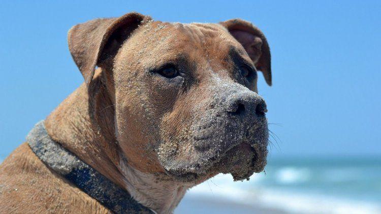 Miramar: un turista murió en tras ser atacado por tres perros pitbulls