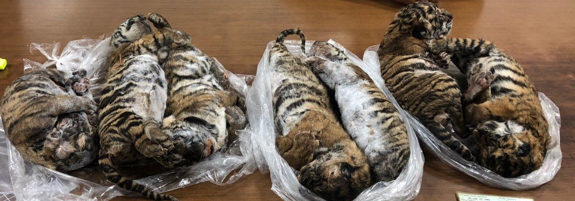Atrapan a traficante vietnamita que vendía cachorritos de tigre congelados