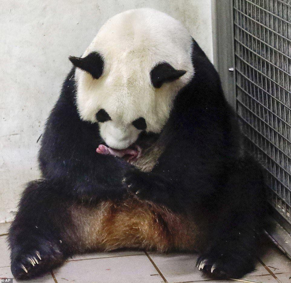 Bélgica: nacieron dos ositos pandas gigantes gemelos