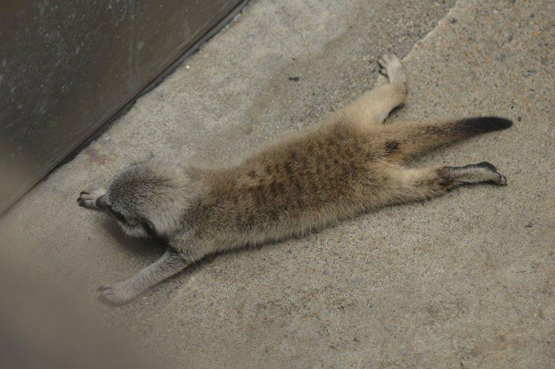 Fotos: Chibi, la suricata bebé que se llevó todas las miradas