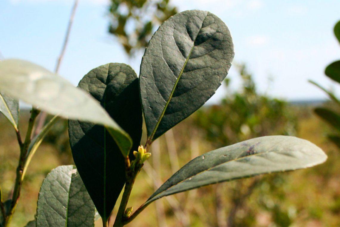 Acuerdan un aumento del 32% en el precio de la hoja verde de yerba mate