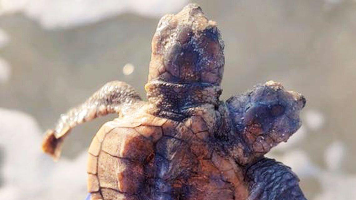 Descubren a una cría de tortuga marina de dos cabezas