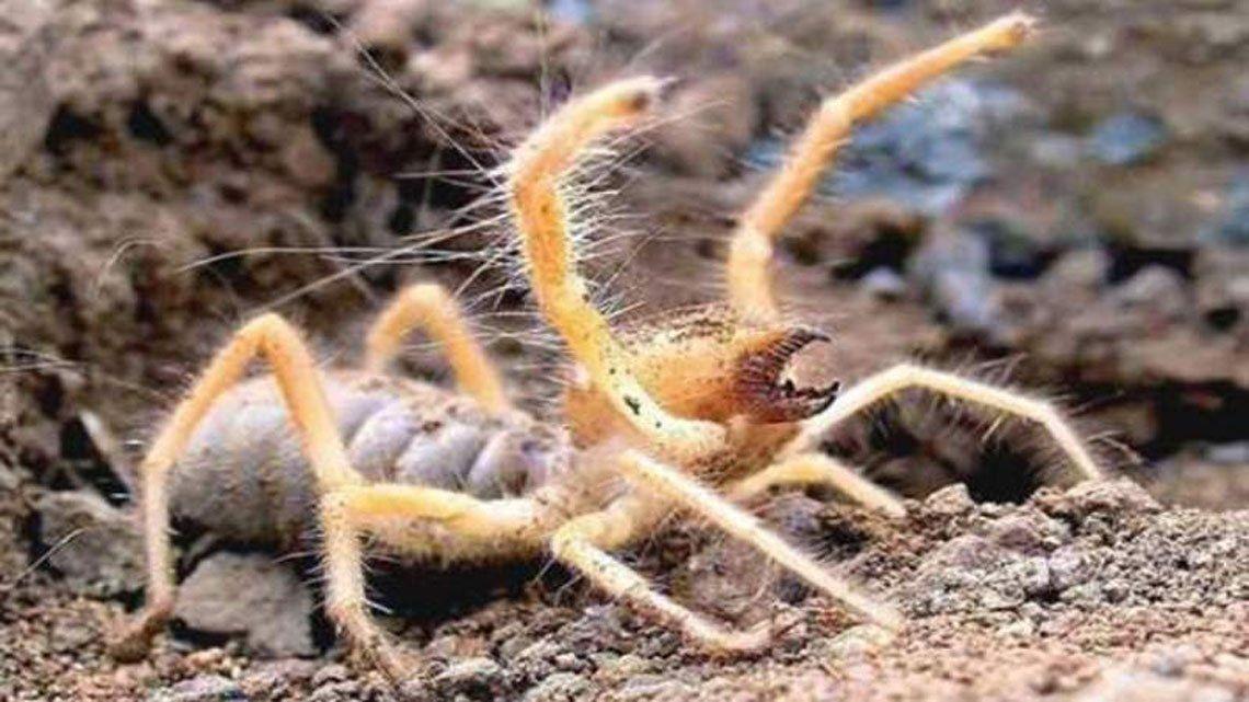 Descubren a una nueva especie de araña camello que come carne humana