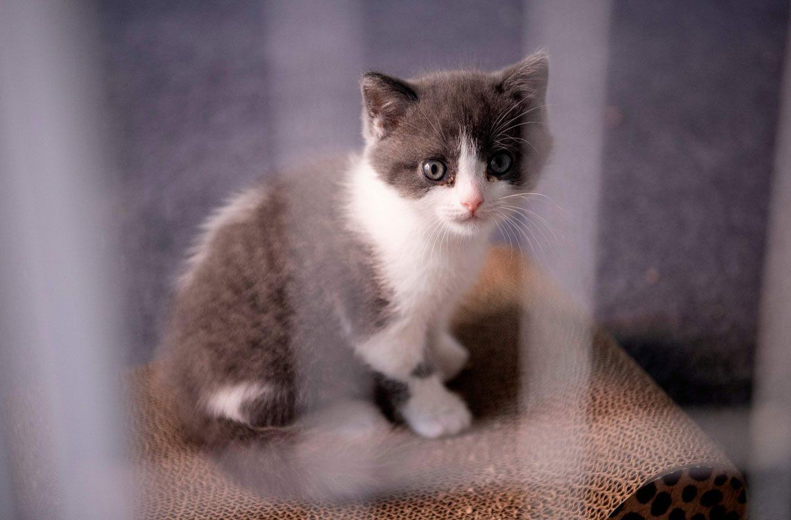 Conocé a Ajo, el primer gato clonado en China