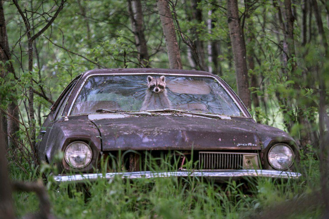 Un mapache dentro de un Ford Pinto de la década de 1970 en una granja canadiense