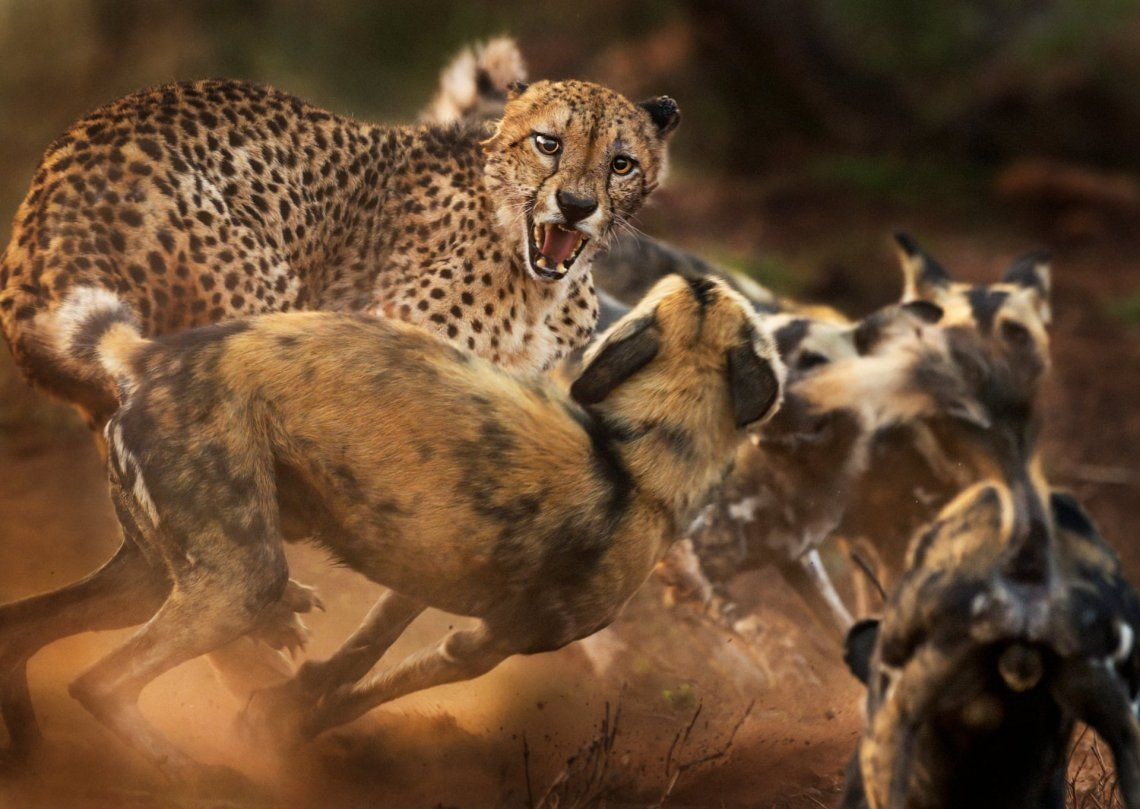 Un grupo de perros salvajes africanos ataca a un guepardo macho solitario