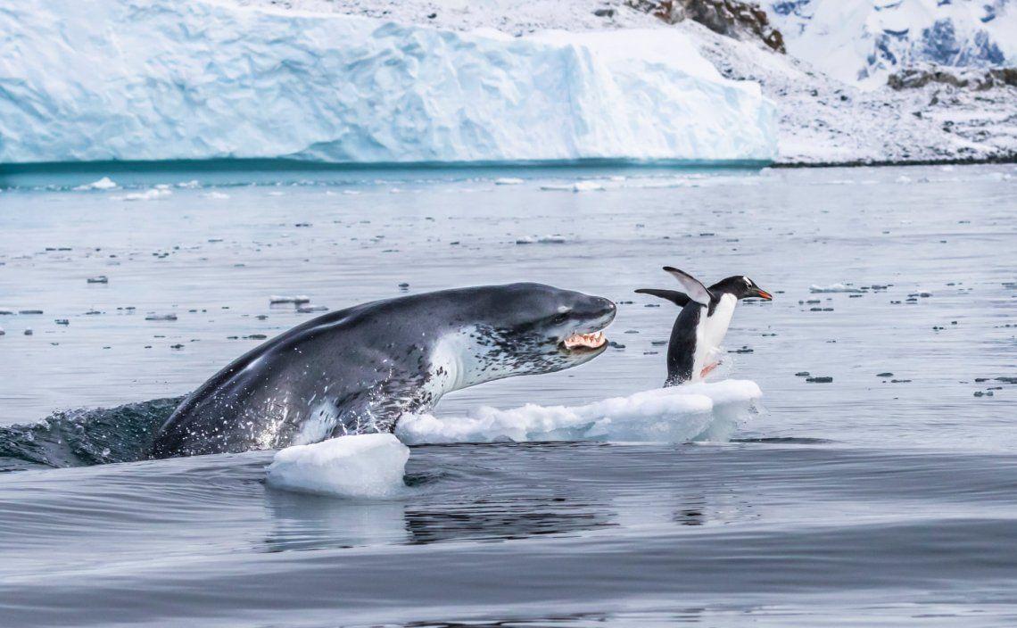 Un pingüino gentoo esacapa del feroz ataque de una foca leopardo
