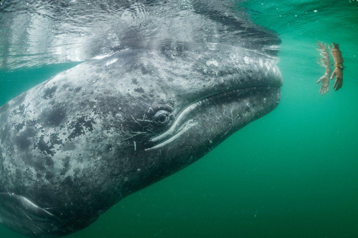 Una joven ballena gris se acerca a un par de manos que se agachan desde un barco turístico en la laguna de San Ignacio en la costa de la Baja California de México.