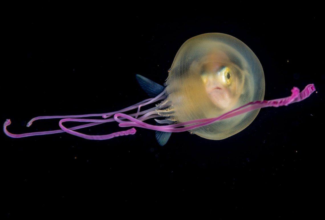 Un jurel juvenil se asoma desde el interior de una pequeña medusa
