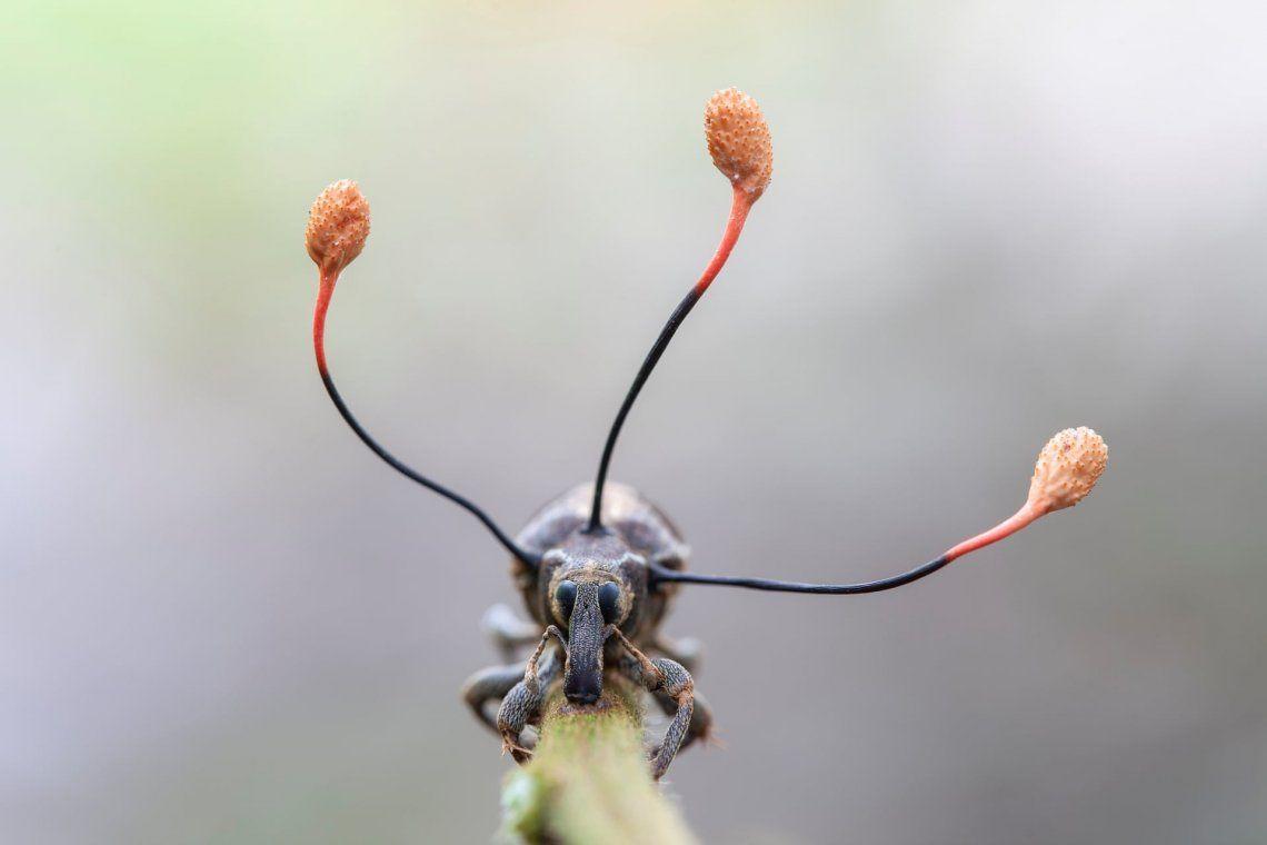 Un hongos zombies con forma de antena crece sobre un gorgojo muerto