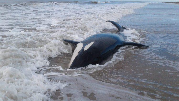 Rescataron a seis de las siete orcas que estaban varadas en la playa