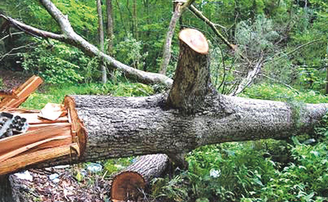Cortó el árbol de la serie Ripley por el odio a su hermano
