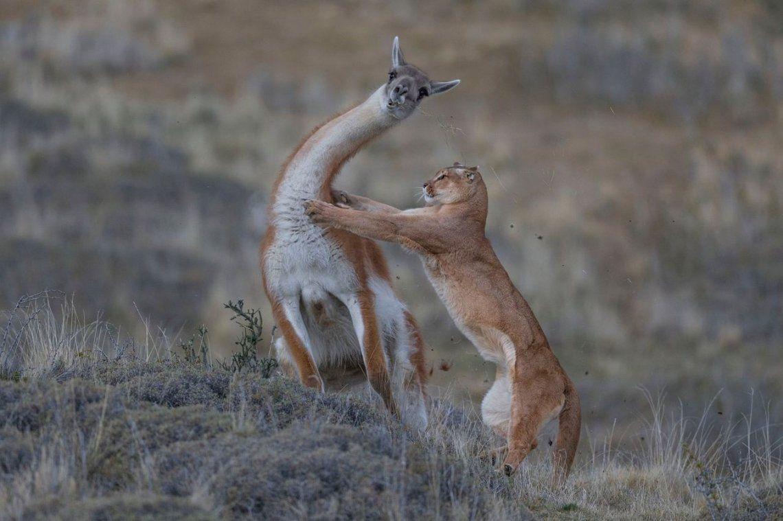 Ganador conjunto del comportamiento de los mamíferos: The Equal Match por Ingo Arndt