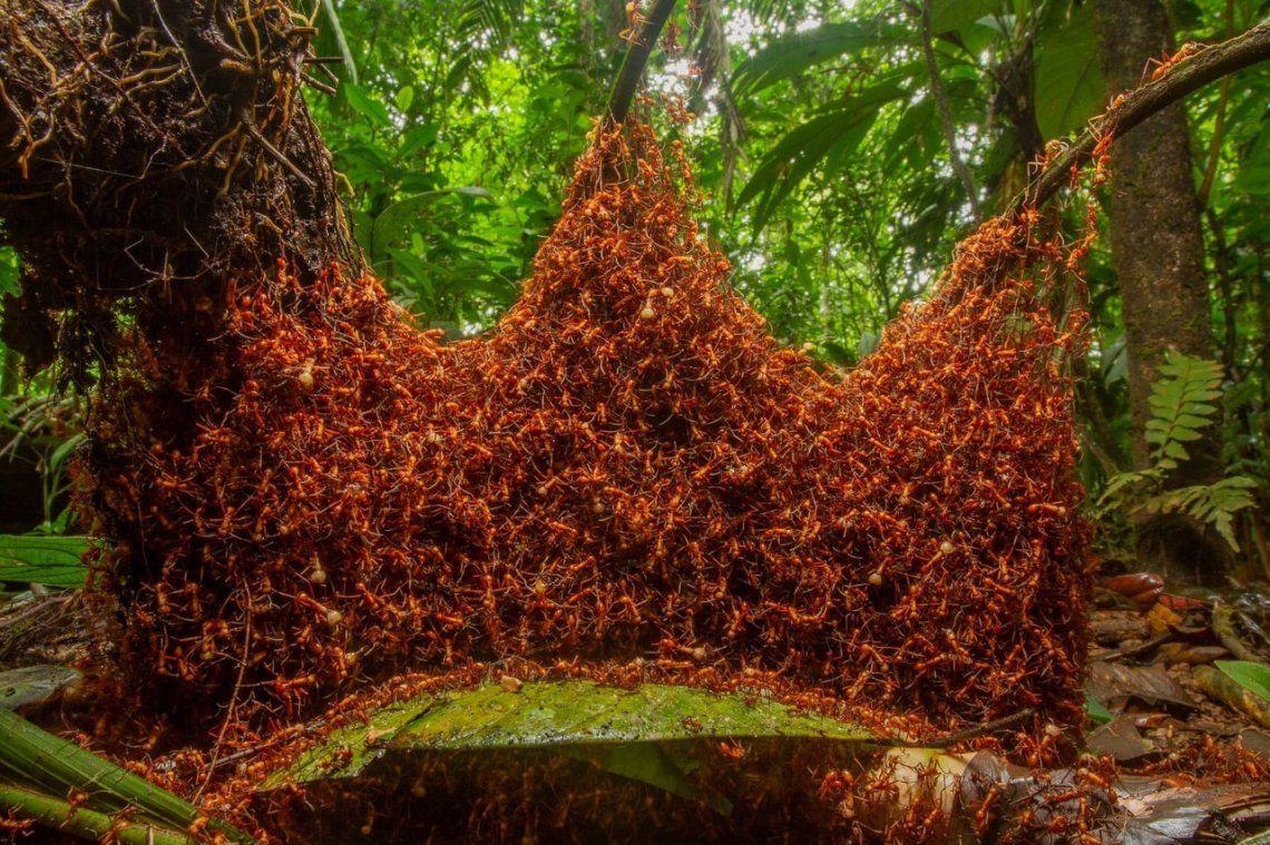 Ganador del comportamiento de los invertebrados: The Architectural Army por Daniel Kronauer