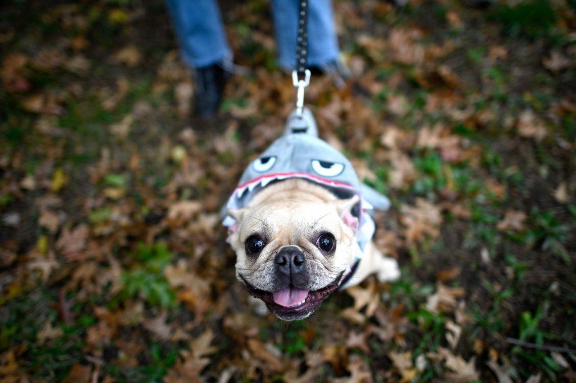 Canlloween: el desfile de disfraces caninos de Nueva York, en fotos
