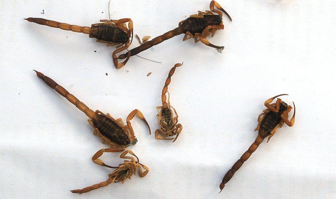 La especie tityus trivitattus es la que predomina en distintos barrios de Bernal.