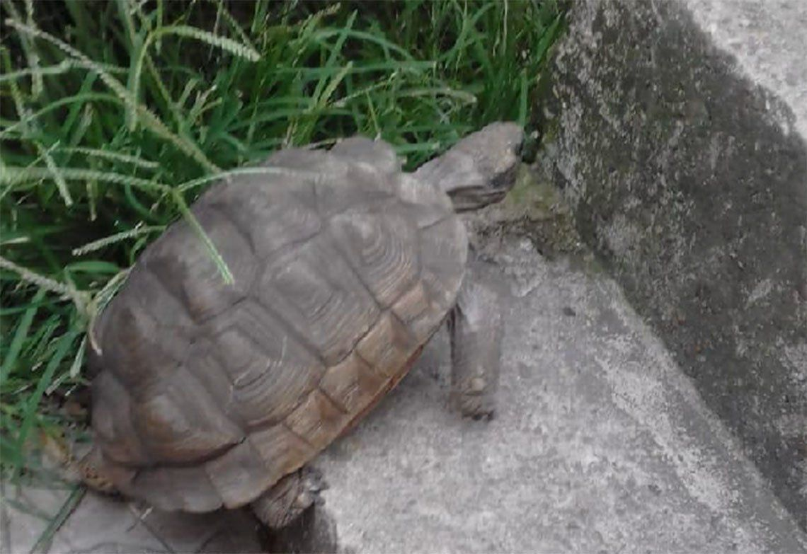 Avellaneda: apareció Ramona Manuelita, la tortuga perdida en Gerli