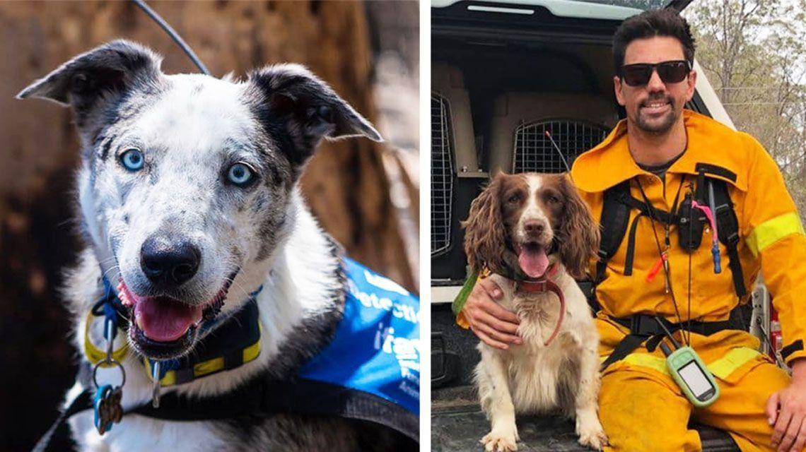 Los perros héroes que rescatan koalas en Australia
