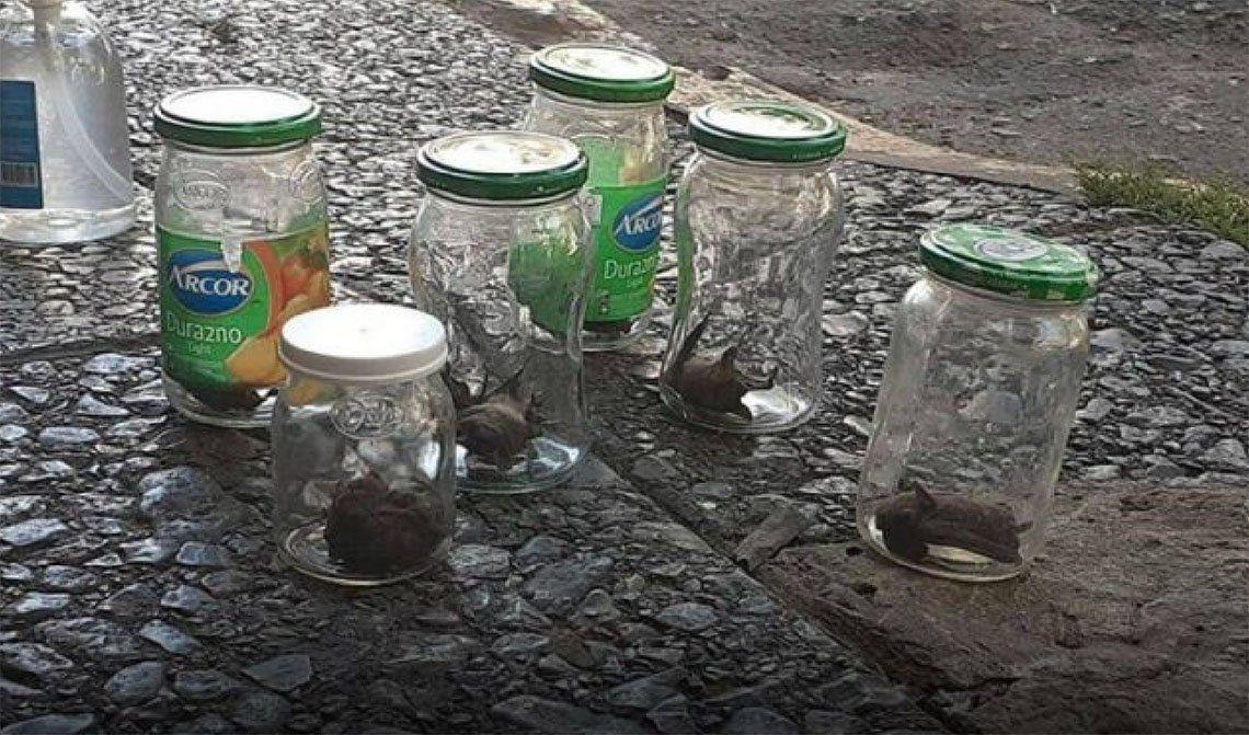 Atraparon varios ejemplares y los entregaron a Zoonosis del municipio.
