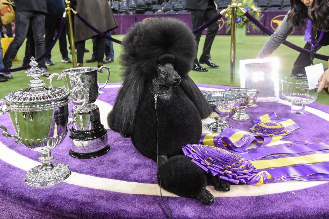 144a exposición canina Westminster Kennel Club