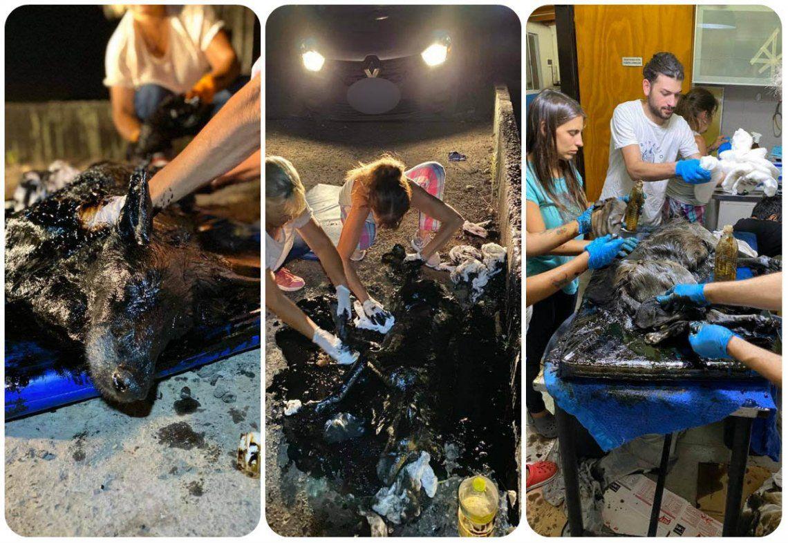 Merlo | Aloe, el perro del milagro: cayó en un pozo de brea y tras nueve horas de trabajo incansable lograron salvarlo
