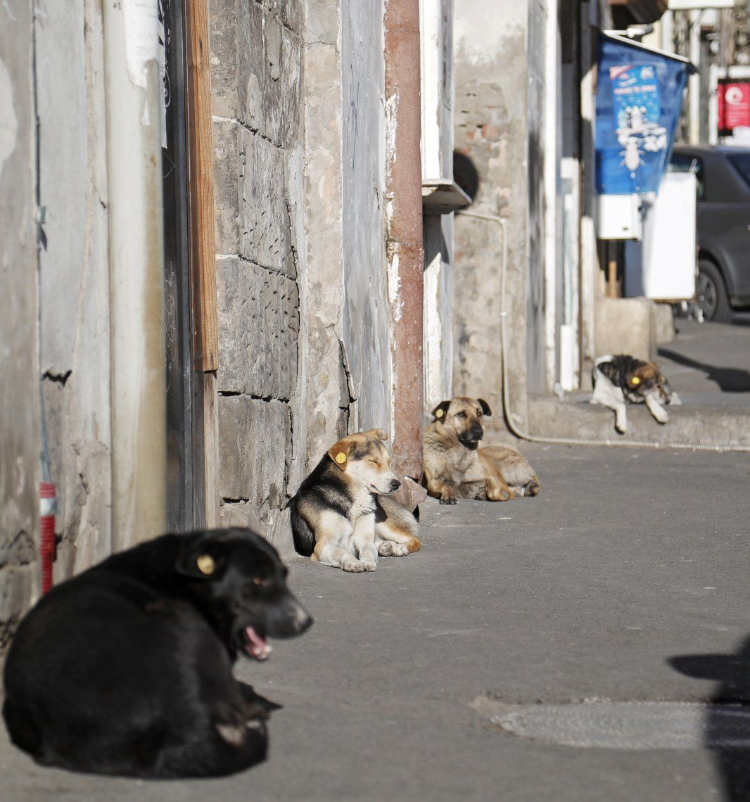 En Georgia, con amor, los perros callejeros dejan de ser amenaza