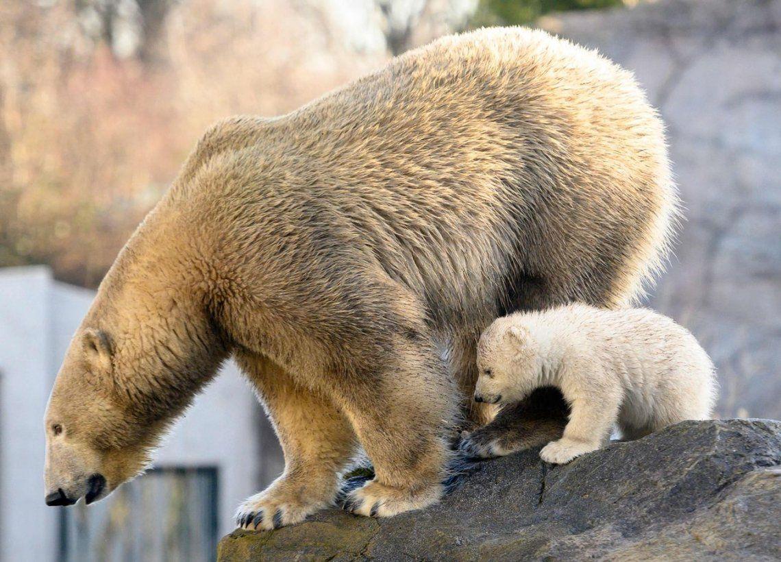Las fotos más tiernas del oso polar bebé del Zoológico de Viena