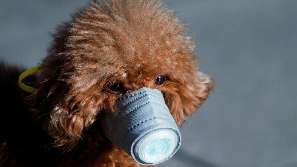 Coronavirus: confirman el primer caso en un perro
