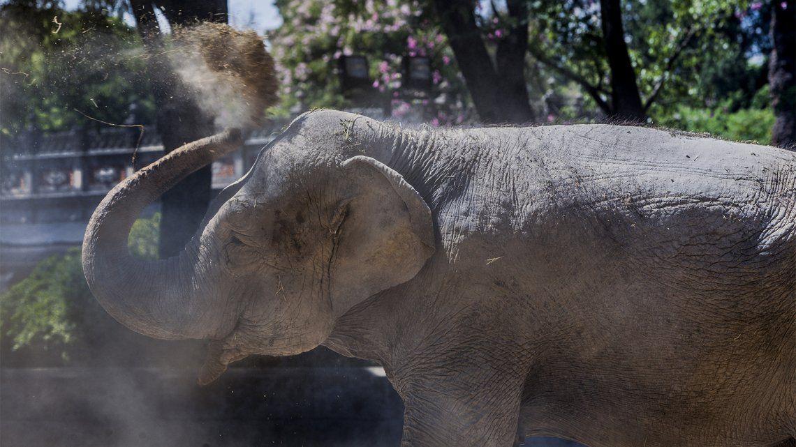 El Senasa ultima los detalles para el traslado de la elefante Mara a Brasil