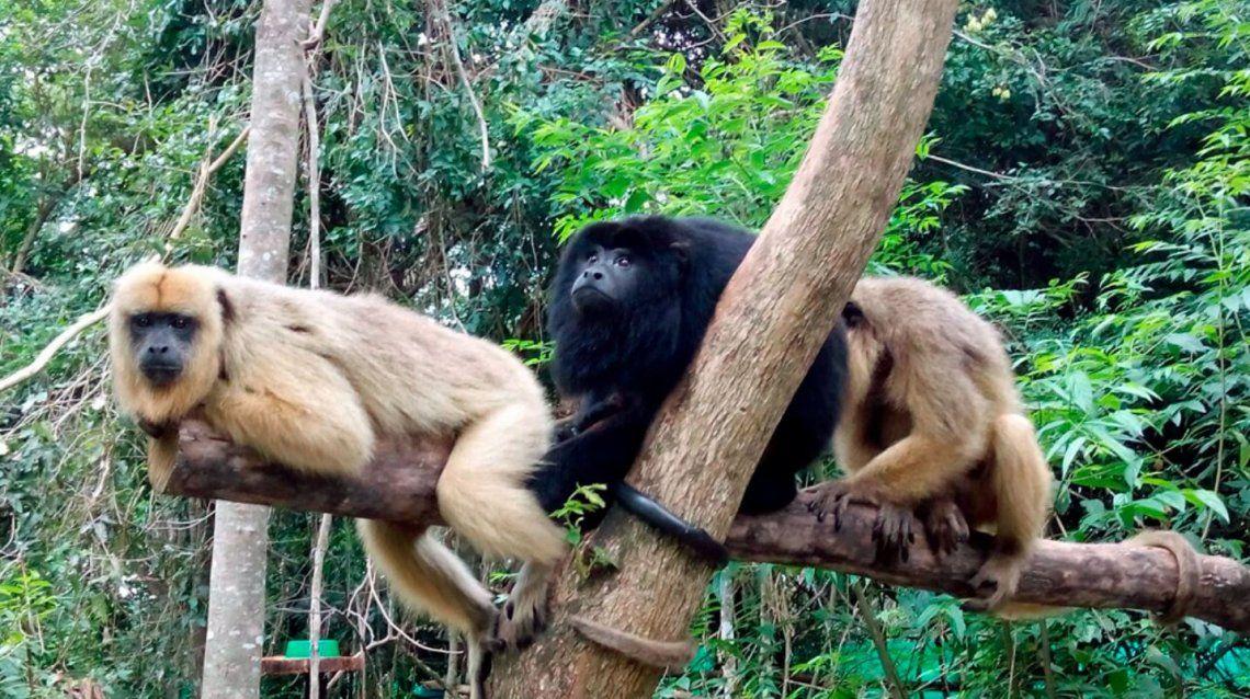 Investigadores del Conicet rescataron monos del tráfico ilegal y los restablecieron a su hábitat de origen