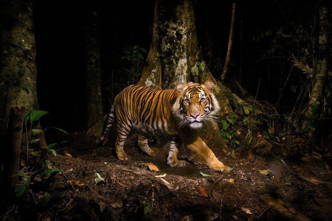 Un tigre mira una cámara trampa