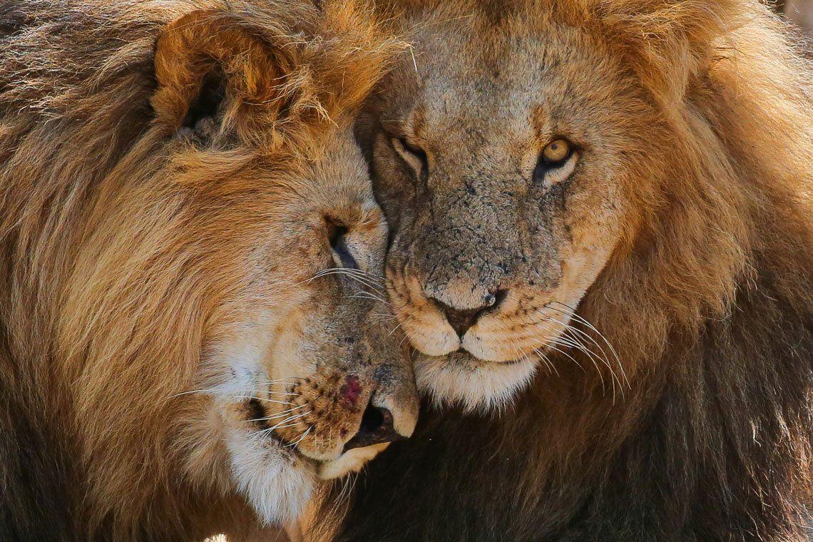 Leones en Mara Naboisho Conservancy