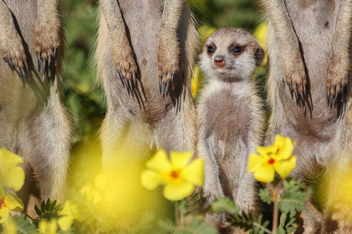 Un joven suricata se encuentra entre su familia en un campo de flores