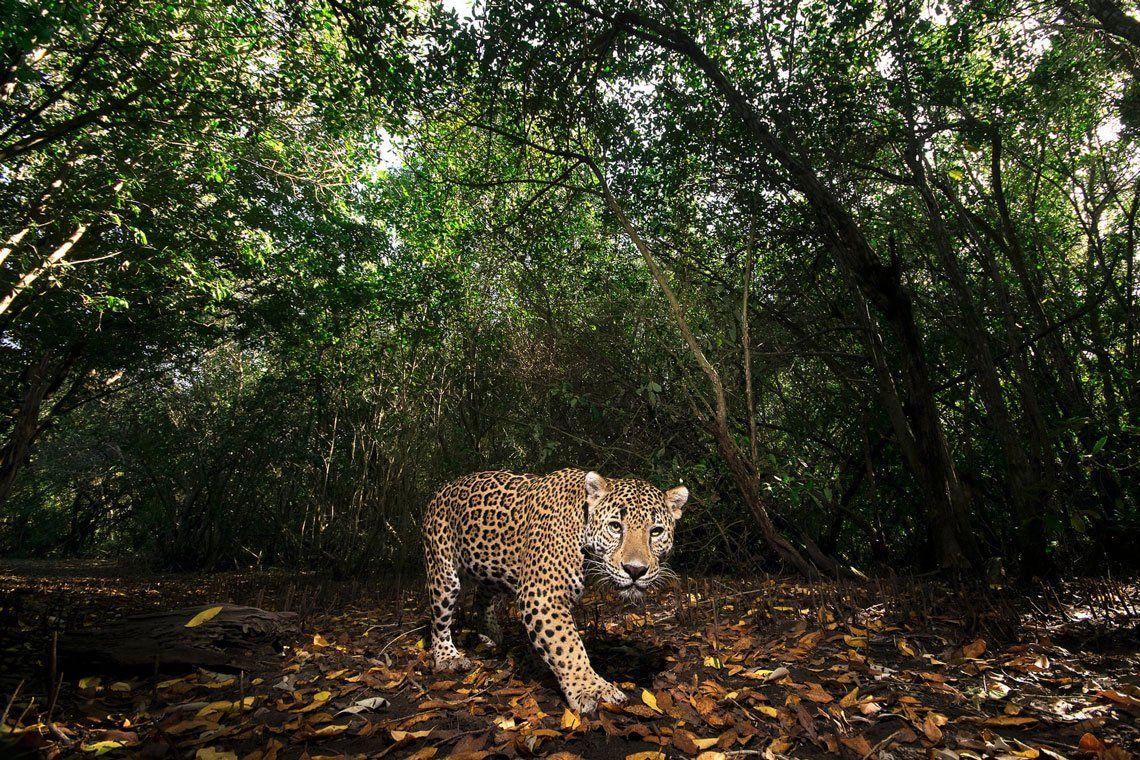 Un jaguar en la reserva de La Papalota en Nayarit
