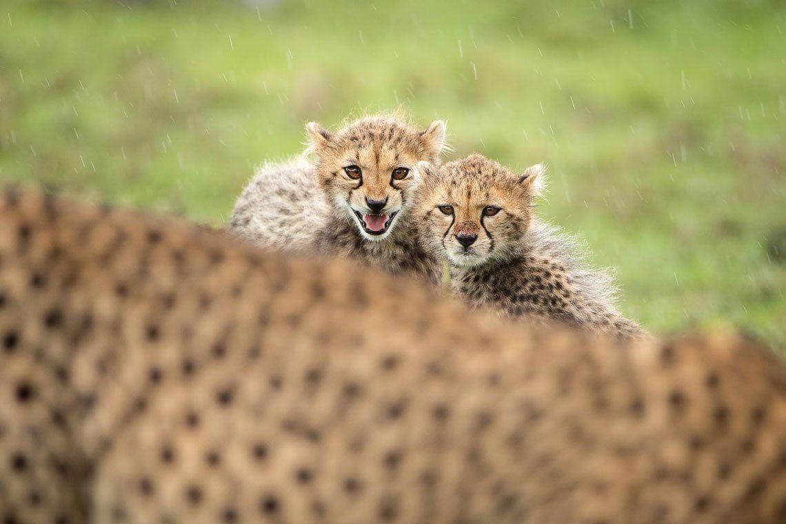 Una madre guepardo y sus dos cachorros