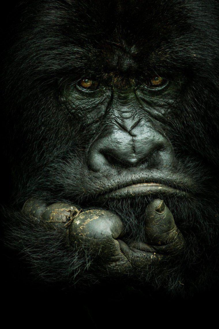 Un gorila de montaña de espalda plateada en el parque nacional Virunga