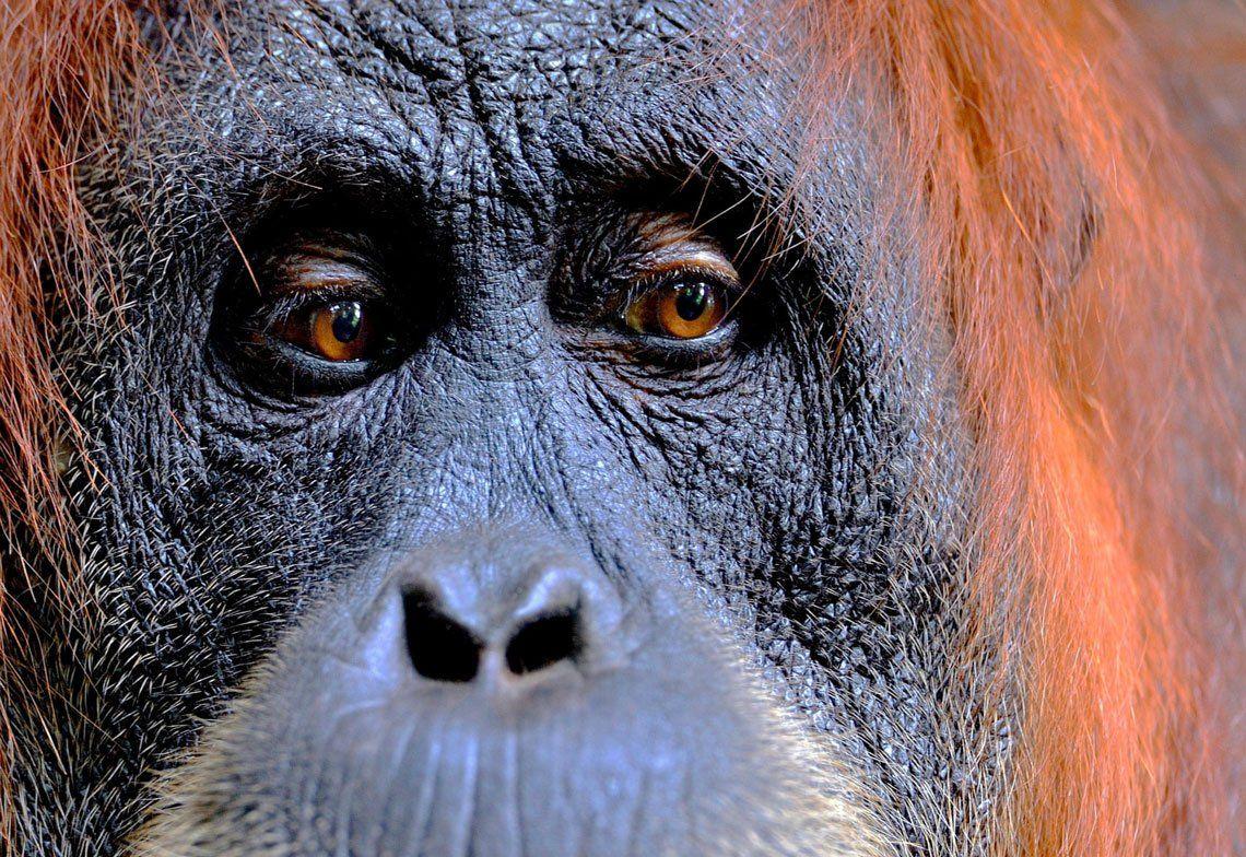 Una hembra de orangután de Sumatra