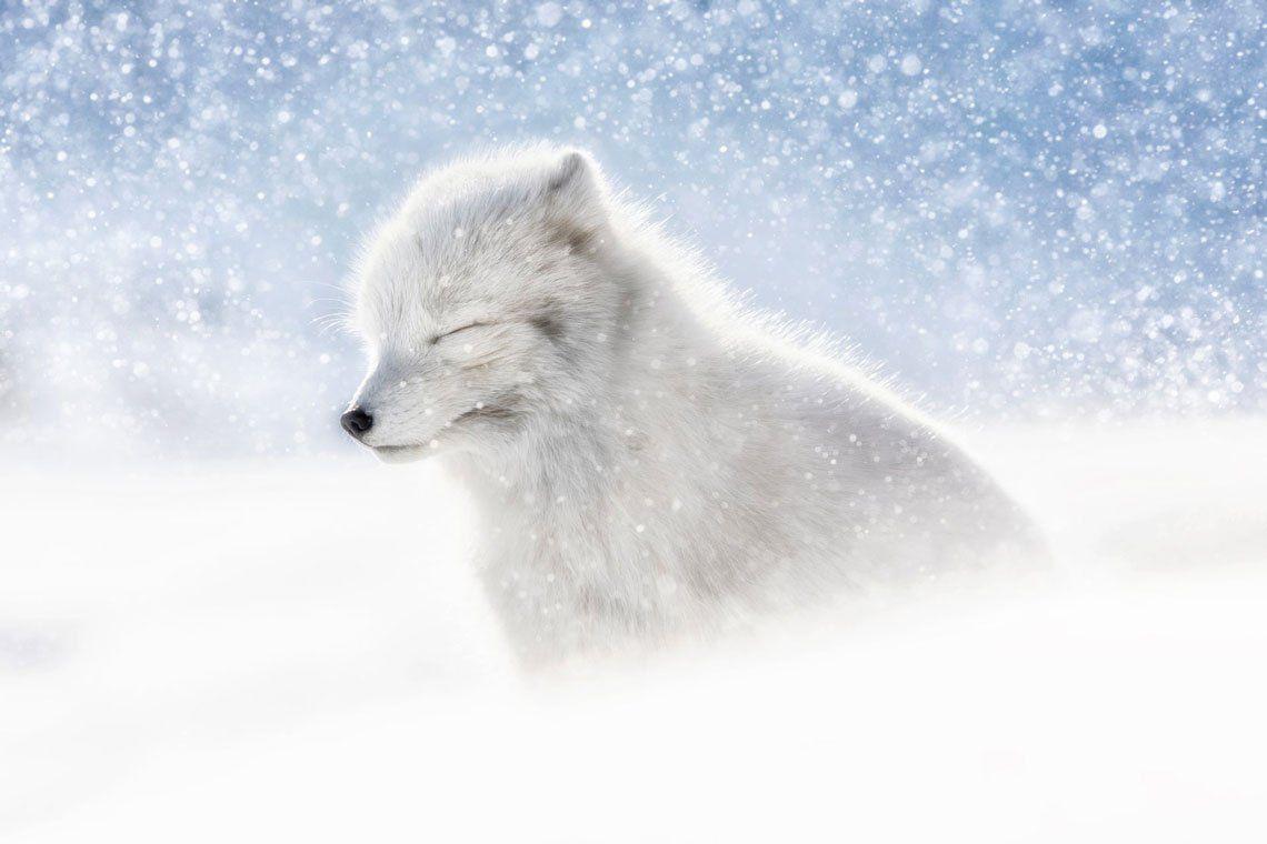 Un zorro ártico en el norte de Svalbard