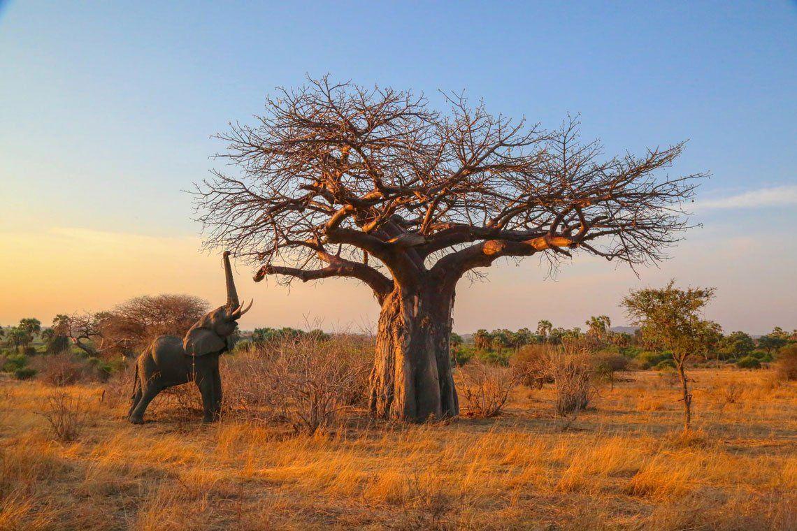 Un elefante alcanza ramas altas en el parque nacional de Ruaha