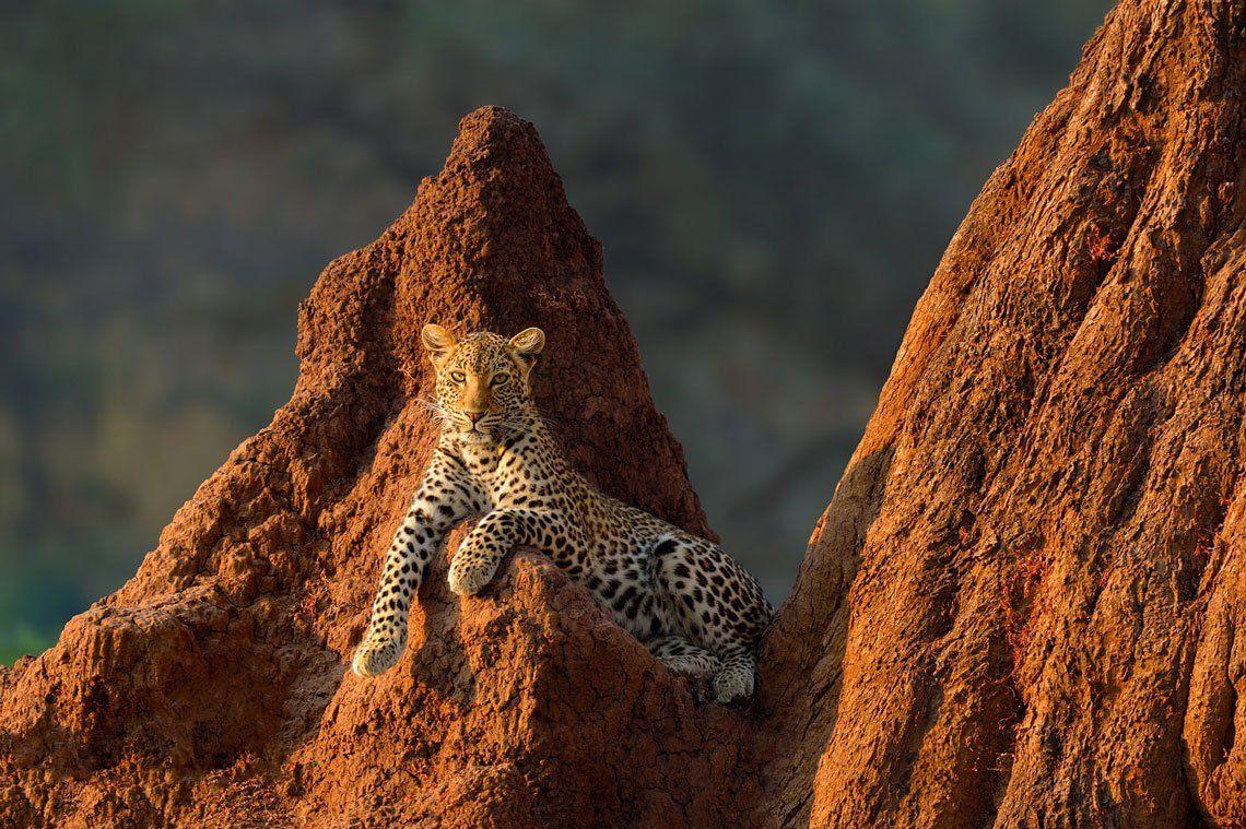 Una hembra de leopardo descansa sobre un montículo de termitas