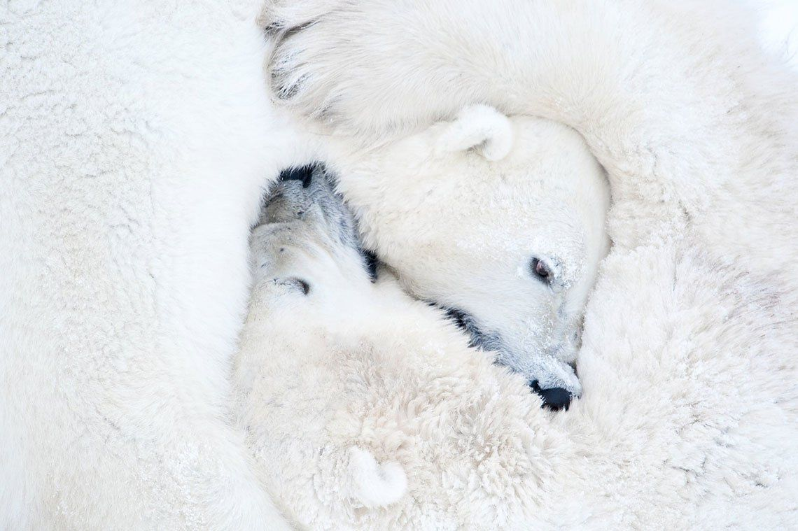 Osos polares en el parque nacional Wapusk en Manitoba