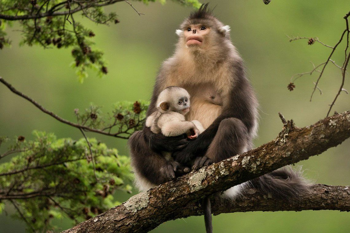 Un mono de nariz chata en la provincia de Yunnan