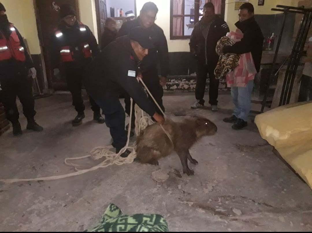 Rescatan a un carpincho que se cayó en una alcantarilla en Jujuy