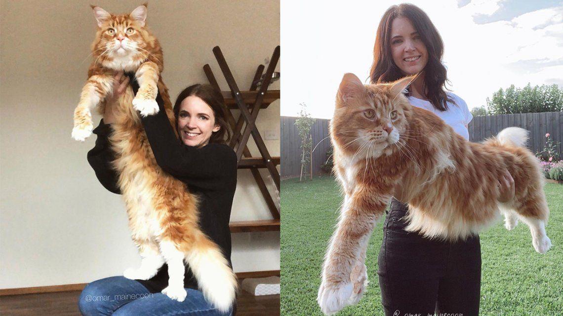 Este es Omar, el gato más grande del mundo